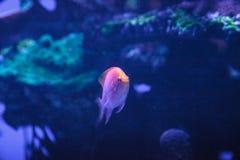 Latus Serranocirrhitus ψαριών anthias ηλιοφάνειας Στοκ φωτογραφία με δικαίωμα ελεύθερης χρήσης