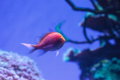 Latus Serranocirrhitus ψαριών anthias ηλιοφάνειας Στοκ Φωτογραφία