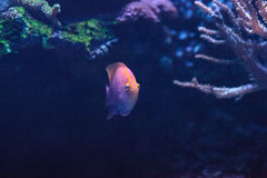 Latus Serranocirrhitus ψαριών anthias ηλιοφάνειας Στοκ φωτογραφίες με δικαίωμα ελεύθερης χρήσης