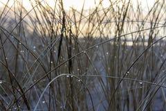 latvia C'est un automne Canne s'élevant sur une dune latvia Après la pluie Image libre de droits