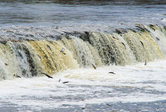 Latvia, Kuldīga. Fish (Vimba) swim to spawn, overcoming waterf Royalty Free Stock Photography