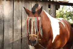 Latvian draught horse portrait in summer Royalty Free Stock Photography