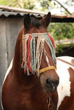 Latvian draught horse portrait in summer Stock Image