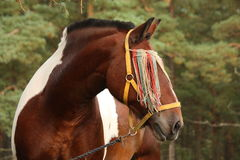 Latvian draught horse portrait in summer Royalty Free Stock Photo