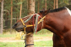Latvian draught horse portrait in summer Stock Photo