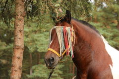 Latvian draught horse portrait in summer Royalty Free Stock Images