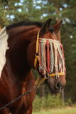 Latvian draught horse portrait in summer Royalty Free Stock Image
