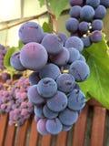 Latvian grapes Royalty Free Stock Photo
