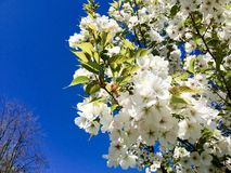 Latvian Kirschblüte lizenzfreie stockfotos