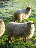 Latxa ardiak ( Sheeps Latxa ) Royalty Free Stock Photos