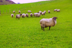 Latxa sheep in Pyrenees of Navarra grazing in meadow Stock Image