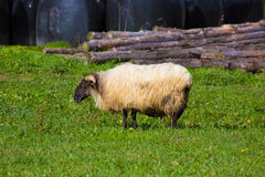 Latxa sheep in Pyrenees of Navarra grazing in meadow Royalty Free Stock Image