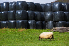 Latxa sheep in Pyrenees of Navarra grazing in meadow Royalty Free Stock Photography