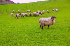 Latxaschapen in de Pyreneeën van Navarra-het weiden in weide Stock Afbeelding