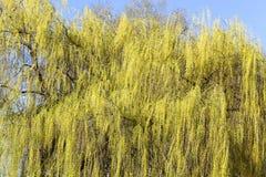 Laub auf einer Weide stockbilder