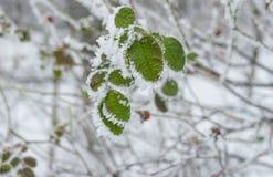 Laub der Rose-canina unter Hoarfrost im Wintergarten stockbild