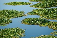 Laub der Wasserpflanzen Lizenzfreie Stockfotografie