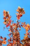 Laub des süßen Baums lizenzfreie stockfotos