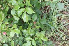 Laub leafts Grasknospe stockfoto