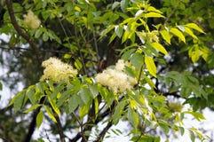 Laub und Blumen der allgemeinen Asche lizenzfreie stockbilder