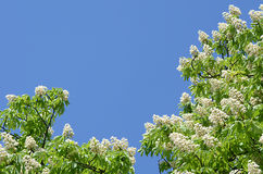 Laub und Blumen der Rosskastanie Stockfoto