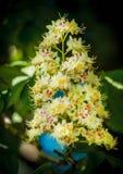 Laub und Blumen von Kastanie Aesculus hippocastanum Rosskastanie Conker-Baumblumen, Blatt Lizenzfreie Stockfotografie