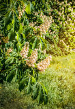 Laub und Blumen von Kastanie Aesculus hippocastanum Rosskastanie Conker-Baumblumen, Blatt Lizenzfreies Stockbild