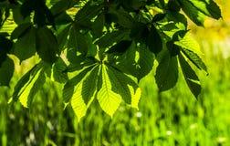 Laub und Blumen von Kastanie Aesculus hippocastanum Rosskastanie Conker-Baumblumen, Blatt Lizenzfreie Stockbilder