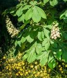 Laub und Blumen von Kastanie Aesculus hippocastanum Rosskastanie Conker-Baumblumen, Blatt Stockfoto