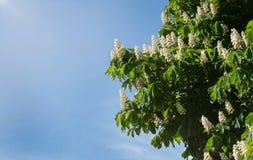 Laub und Blumen von Kastanie Aesculus hippocastanum Rosskastanie Conker-Baumblumen, Blatt Stockfotos