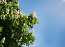 Laub und Blumen von Kastanie Aesculus hippocastanum Rosskastanie Conker-Baumblumen, Blatt Stockbild