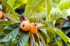 Laub und Früchte der allgemeinen Mispel lizenzfreie stockfotografie