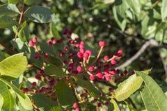 Laub und Früchte von Terebinth, Pistacia terebinthus stockfoto