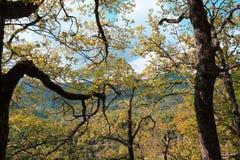 Laub und Niederlassung der geschlechtsreifen Eiche im Herbst Stockbild