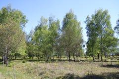 Laubbäume, Birken mit gefallenen Bäumen und Wurzeln, auf einer Steppe in den Naturreservat-Sanddünen, Baden-Baden Sandweier Stockbild