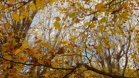 Laubbaum in der Herbstsaison stock footage