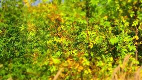 Laubfall in den Herbststadtpark Schöner Hintergrund Geschossen auf Kennzeichen II Canons 5D mit Hauptl Linsen stock footage