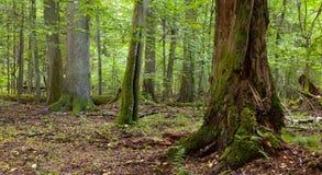 Laubwechselnder Stand der Sommerzeit mit alten Bäumen Lizenzfreies Stockfoto