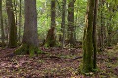 Laubwechselnder Stand der Sommerzeit mit alten Bäumen Stockbilder