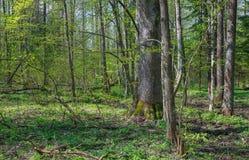 Laubwechselnder Stand am sunnny Frühjahrtag Lizenzfreies Stockfoto