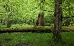 Laubwechselnder Standplatz des Bialowieza Waldes im Frühjahr Stockfoto