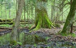 Laubwechselnder Wald des Frühjahrs Stockfotografie
