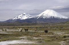 Lauca nationalpark Chile Royaltyfria Bilder
