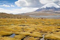 lauca park narodowy Zdjęcie Royalty Free