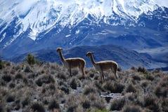 lauca park narodowy vicugnas Zdjęcia Royalty Free