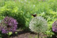 Lauch-Blumen mit einem Schmetterling Stockfotos