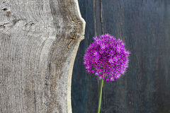 Lauch-dekoratives Zwiebel-Violet Showy Flower Head Old-Ulmen-Holz Lizenzfreie Stockfotos
