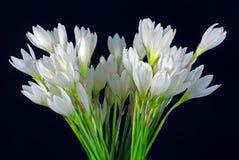 Lauch-geformte Orchidee Lizenzfreie Stockfotos