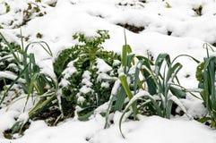 Lauch und Wirsingkohl im Schnee Stockfoto