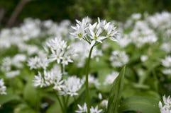 Lauch ursinum Bär ` s Knoblauch in der Blüte, Sonnenlicht lizenzfreie stockfotografie